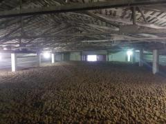 Quality of food potatoes, seed
