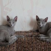 Russian blue cat kittens for sale